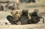津巴布韦小象离群惨遭小狮子锁喉捕杀