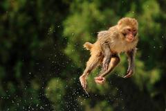 """大圣玩高台跳水 堪称""""动物奥运会"""""""