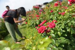 成都两万余株玫瑰竞相绽放吸引游客