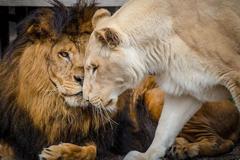 """两只受虐狮子获救后""""一见钟情"""" 治愈彼此身心"""