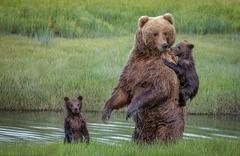熊妈妈背怕水熊宝过河 画面暖心