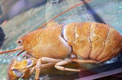 """纽约餐馆将罕见""""黄色""""龙虾救下餐桌"""