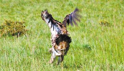 张掖高台县:救助放飞一只国家二级保护动物红隼