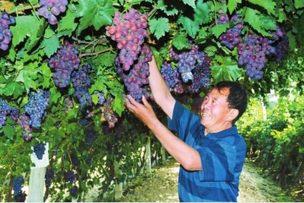 玉门市花海镇葡萄种植面积达到1.27万亩