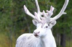 瑞典森林出现罕见纯白驯鹿 如童话精灵