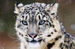 甘肃祁连山保护区拍摄到雪豹画面