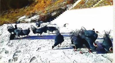 张掖马蹄寺出现蓝马鸡