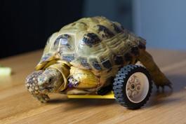龟坚强!断腿小乌龟装上车轮重新爬行