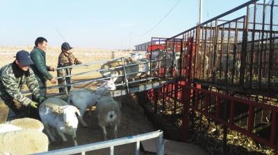 """1500只澳洲种羊要在甘肃""""繁衍子孙"""""""
