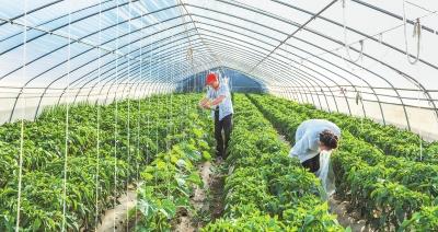 白银会宁县太平店镇太平村农民在大棚里采收蔬菜(图)