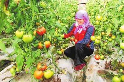 酒泉金塔县东坝镇农民在温室大棚采收西红柿(图)