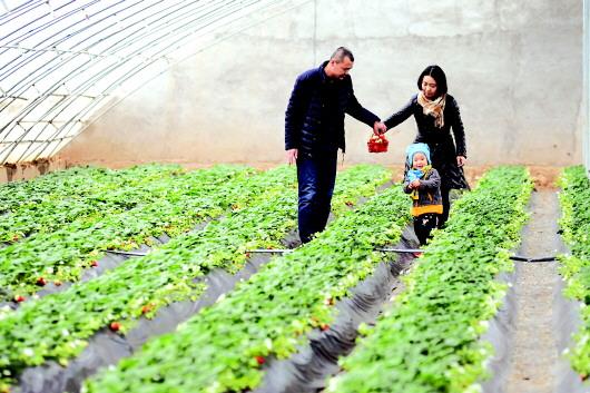 游客在天水清水县红堡镇杜川村草莓采摘园内采摘草莓(图)