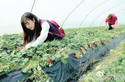 """陇南成县草莓""""抢鲜""""上市 网络大V纷纷助力(图)"""