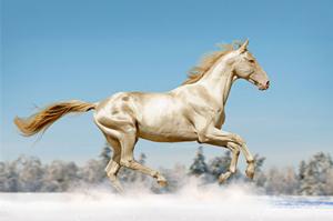 """超罕见品种 被称为来自""""天堂""""的马(组图)"""