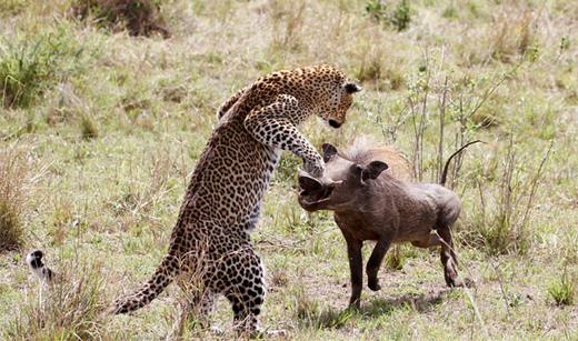 肯尼亚母豹飞身跃起捕食疣猪