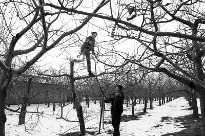 庆阳市宁县45万亩苹果园开始冬剪 已全部完成清园施肥(图)