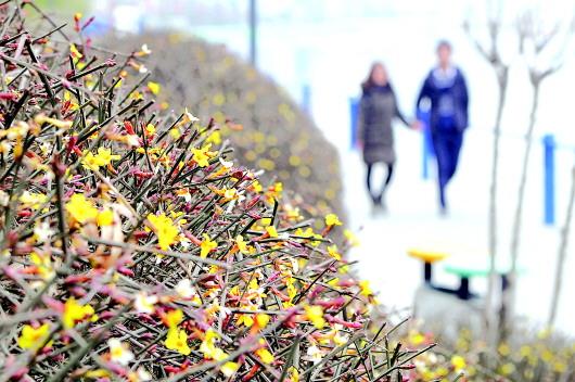 天水湖北岸的迎春花悄然开放(图)