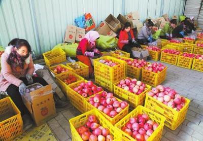庆阳庆城县庆安果业合作社果农将苹果分拣包装销往外地