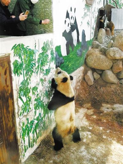 """网友:大熊猫消瘦、口吐白沫 兰州市生态局:""""蜀兰""""各项指标正常"""