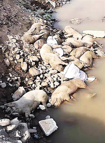 近20头死猪被扔天水渭河边 畜牧部门已无害化处置