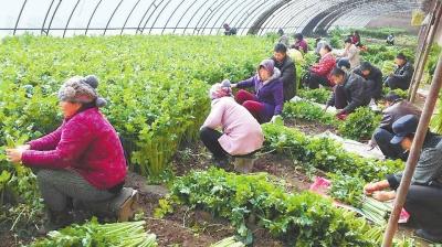 平凉崇信县农业园区种植的无公害西芹开始采收(图)