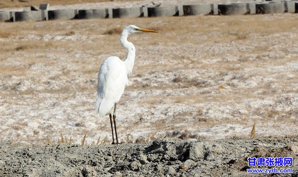 张掖干群成功救助国家二级保护动物白鹭