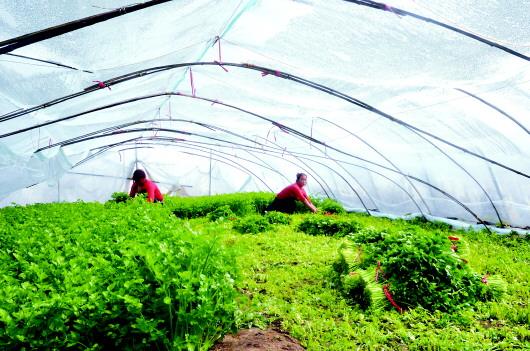 天水甘谷县磐安镇谢家坪村菜农正在设施大棚内收割芹菜(图)