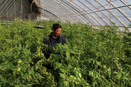 武威凉州区下双镇种植户利用新技术促进大棚作物提质增效