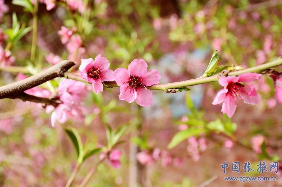 张掖:油桃花开迎春来