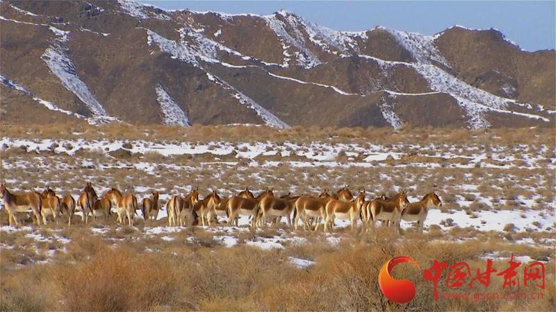 酒泉市阿克塞安南坝地区大群国家一级保护动物野驴觅食(图)
