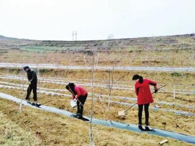 陇南徽县积极推广果树幼园套种马铃薯现代农业种植模式(图)