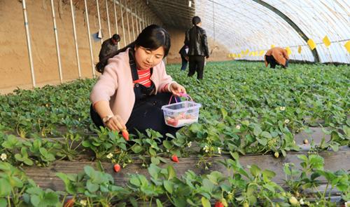 定西市安定区草莓成熟 市民乐享采摘乐趣(图)