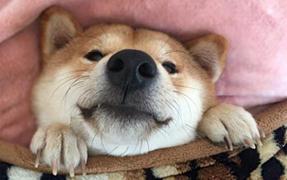 """香港柴犬""""狗模人样""""活成网红一枝汪"""