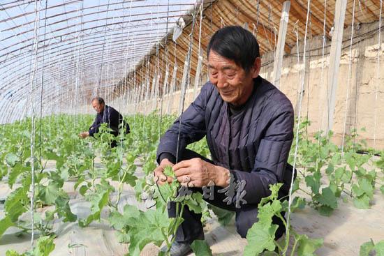 武威民勤县收成乡种植户日光温室蜜瓜长势喜人(图)