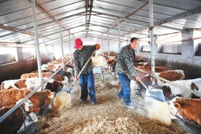 平凉泾川县盛腾养牛专业合作社工作人员喂养肉牛