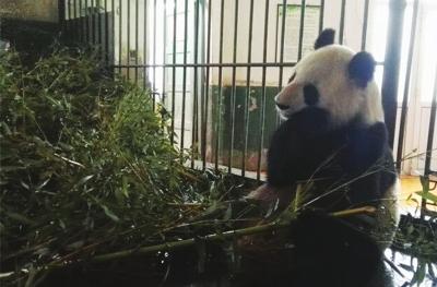 """兰州:大熊猫""""蜀兰""""将赴都江堰代养调理"""