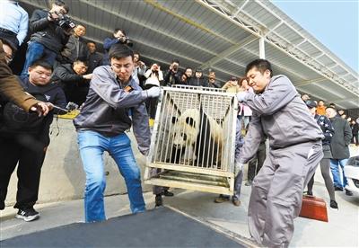 大熊猫蜀兰昨日惜别兰州 返回家乡颐养天年