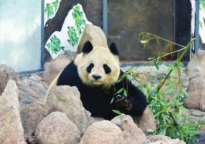 """大熊猫""""蜀兰""""赴蜀调养(图)"""