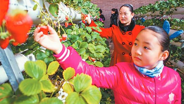 敦煌市民在肃州镇武威庙村日光温室里采摘草莓