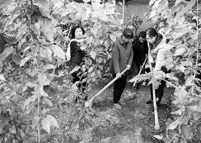 甘肃庆阳西峰区设施果蔬基地员工对大棚桑葚进行松土施肥管理