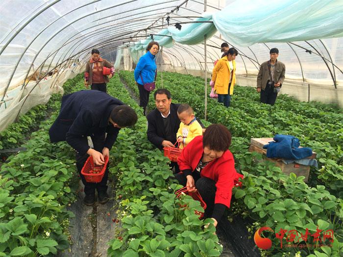 陇南武都:采摘草莓成新时尚(图)