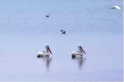 张掖:黑河流域湿地发现卷羽鹈鹕 (图)