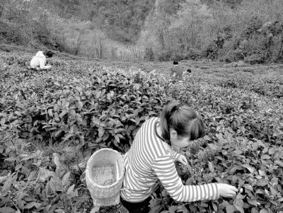 陇南武都区茶地开始小面积采摘春茶(图)