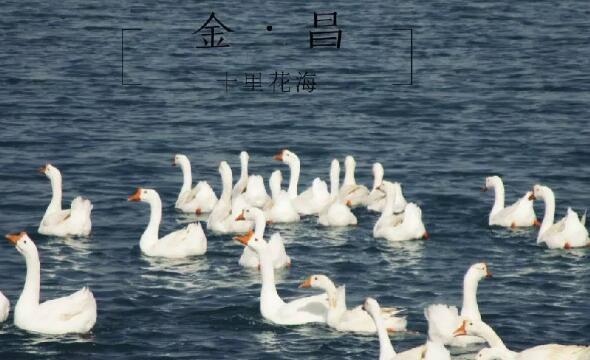 """金昌""""十里花海""""观鹅"""