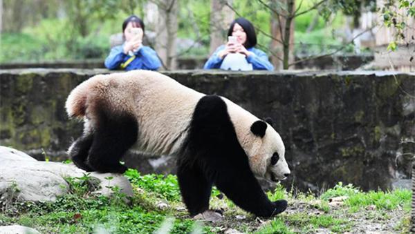 """海归大熊猫""""宝宝""""入住新家并与公众见面"""