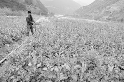 陇南康县太石乡河口坝村农民在给油菜浇水(图)