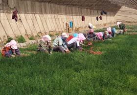 张掖临泽县平川镇洋葱种植喜获丰收(图)
