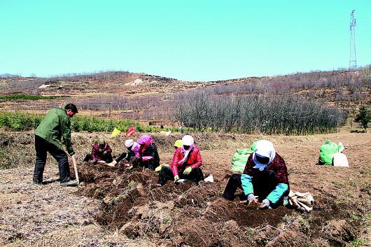 平凉华亭县马峡镇刘店村群众正在挖药苗(图)