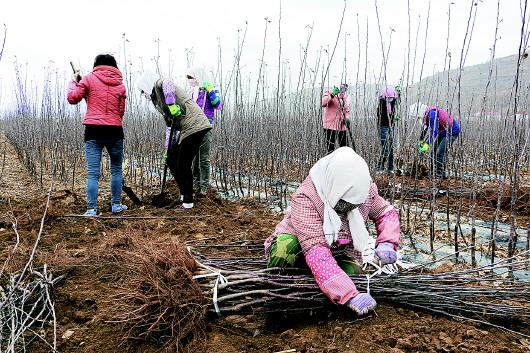 平凉静宁县果园技术工人出圃优质苗木(图)