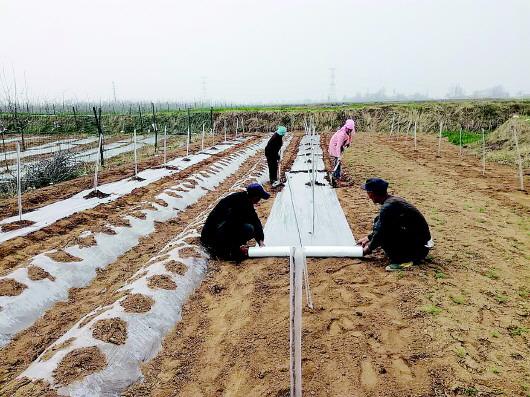 平凉灵台县西屯镇群众为新植的果园里覆膜(图)